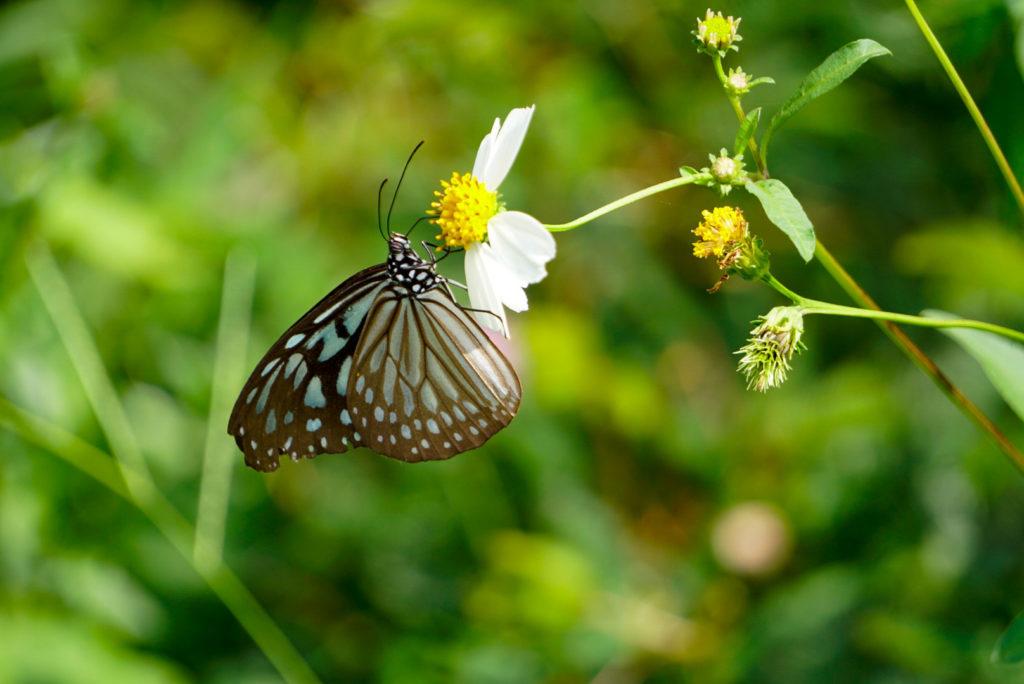 Ein weiß schwarzer Schmetterling sitzt auf einer Blume mit weißen Blüten.